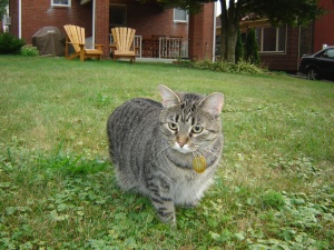 black tabby cat named Sumo