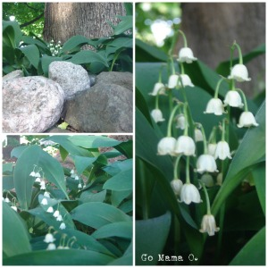 These Lily of the Valley are done blooming, but we sure enjoyed seeing them when they had their time to shine!