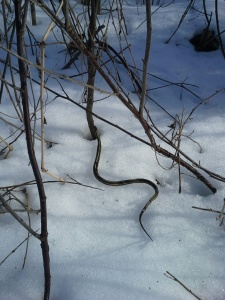 snake in the snow