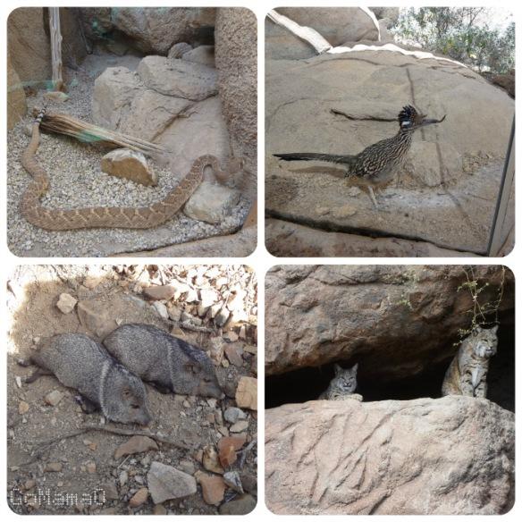 Rattlesnake, roadrunner, javelina snoozing, bobcats