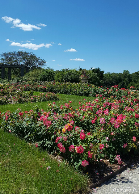 beautiful-view-of-the-rose-garden