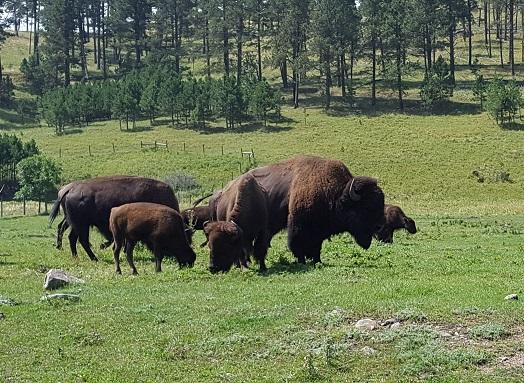 bison Custer State Park.jpg
