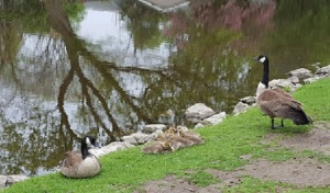 geese and babies