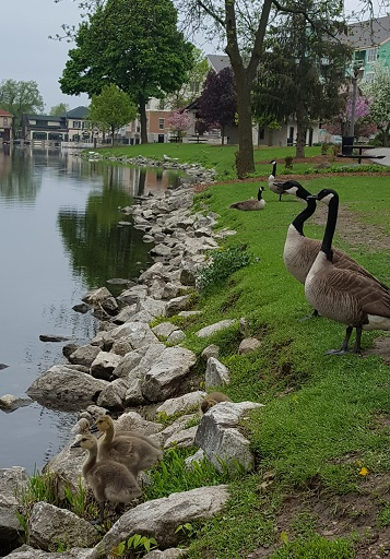 vertical geese and babies