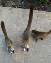 Coati begging