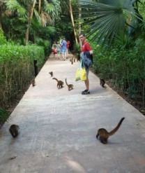 Coati following Daddy O