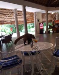Coati on the table