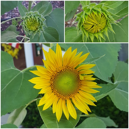 Stages of our sunflower blooming